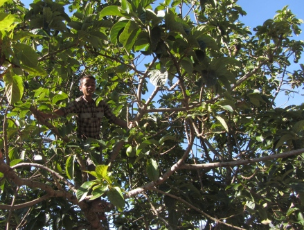 A village boy obligingly climbs an avocado tree and easily plucks 20 for us. Approx. US$3 for all.
